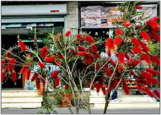 Bottle brush flowers - on the pavements of Cana