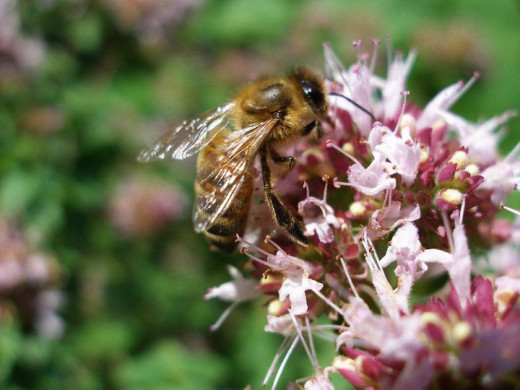 Honey Bee on Oregano Bloom