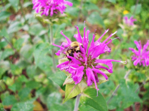 Monarda aka Bee Balm and Bumble Bee