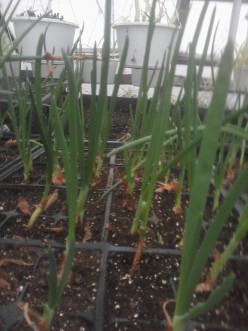 Green Onions growing in Gardener Dens Greenhouse.
