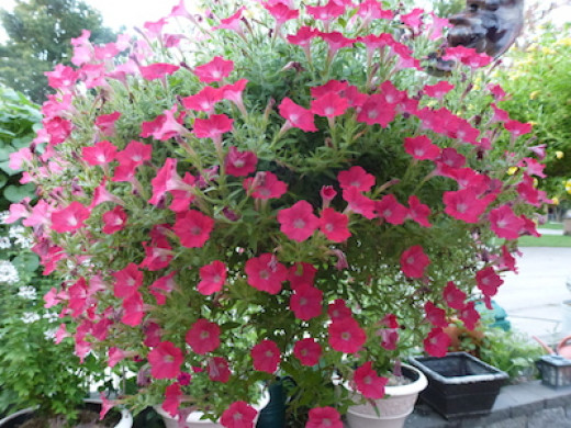 Soil content is especially important in hanging baskets where a small amount of soil must provide a good foundation to the plant all summer..