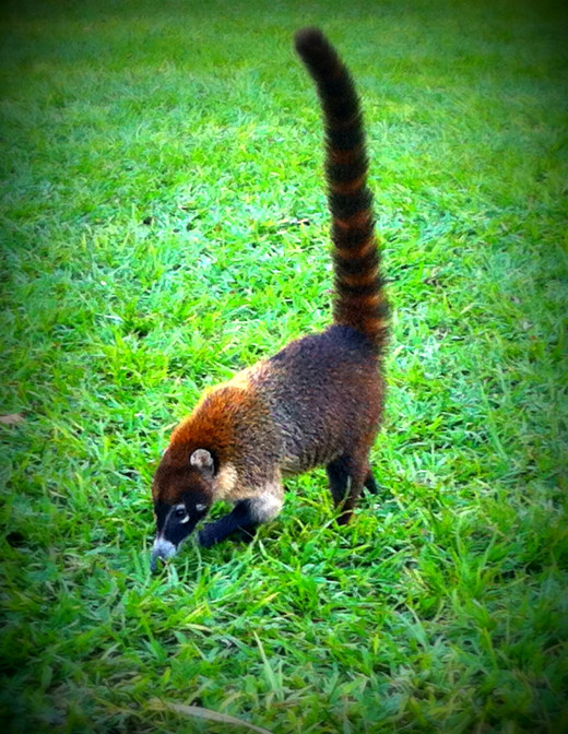 Coati looking for ants