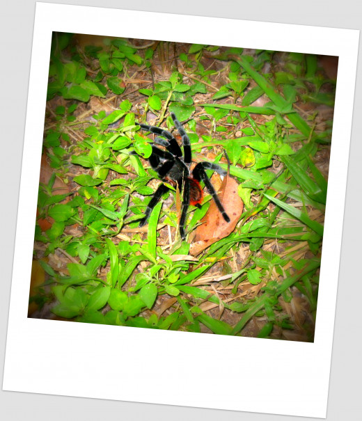 Look what our guide found! A Mexican Red Rump Tarantula in the grass.