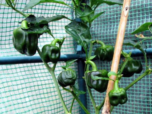 The Bell Pepper Grown in my Garden