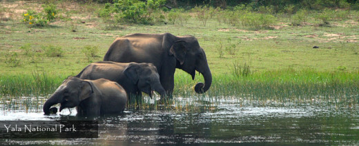 """Yala"" is one of the top destinations to watch elephants in their natural habitats"