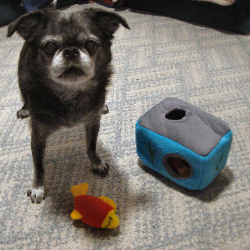 """Roc's all-time favorite game is """"find it!"""" and he loves playing with his Aquarium Zippy Burrows toy and digging out the squeaky fish."""