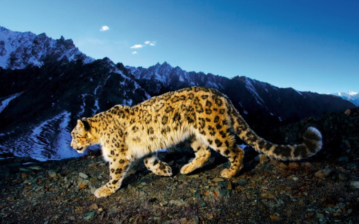 A snow leopard in Chitral valley. If you are lucky, you can see these beautiful in Gol Nallah National Park.