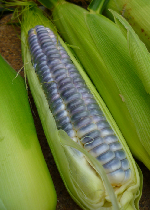 Dwarf Heirloom Blue Jade Sweet Corn. Grown in 2013.