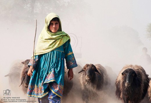 A shepherd girl confidently leading her herd of local breed of sheep.