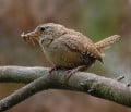 European Wren { Birds of Europe}