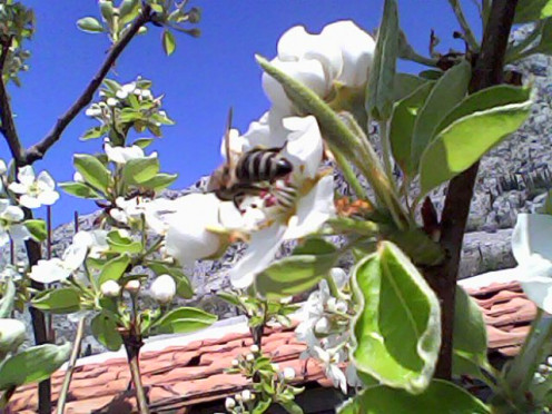 The pear tree with bees busy at work in the lovely flowers