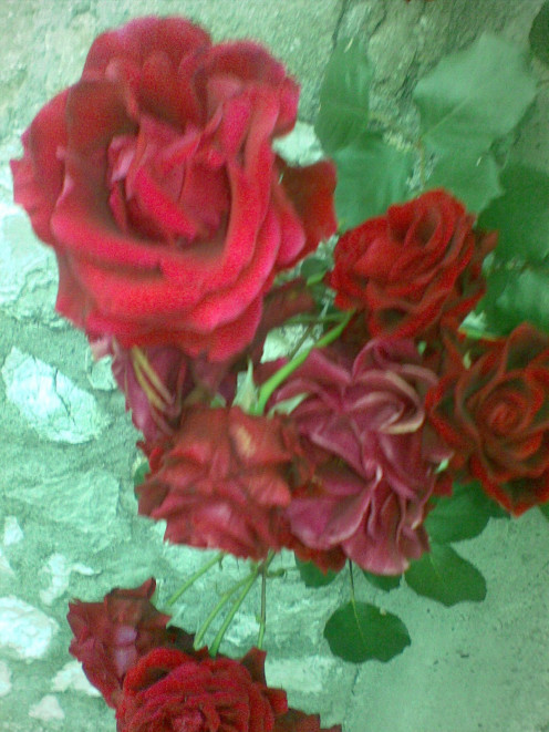 Our beautiful Red rose plant