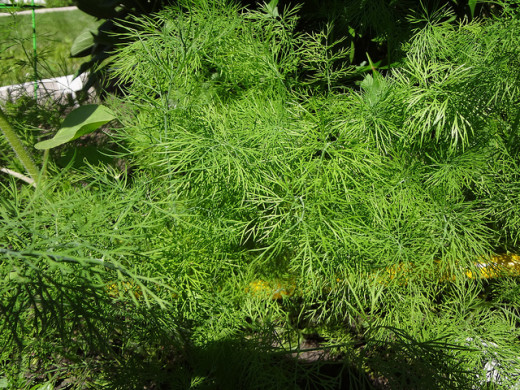 Dill from my garden