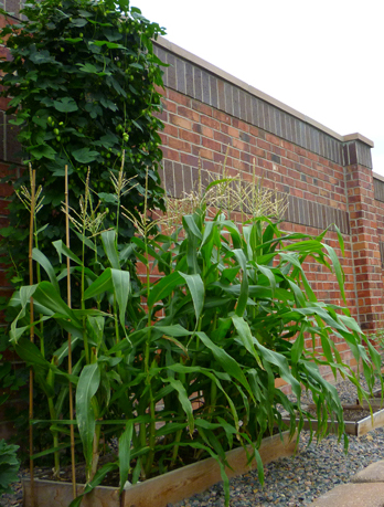 Backyard corn plants with tassels.