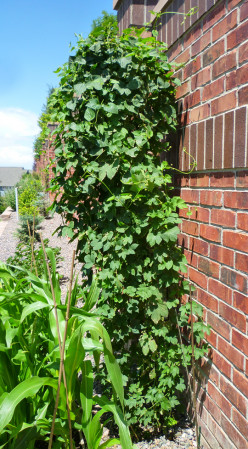 Cascade hop plant with tons of hop cones on the plant!