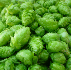 Cascade hops harvested from the 2013 season.