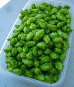 Harvested Cascade hops.