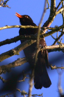 the Blackbird Sings for his Supper