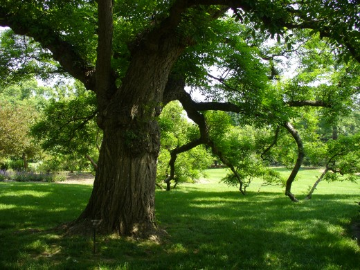 In any garden, one loves to see a shady area due to a large tree.  There is something so special about such trees, especially the old ones.  They are like wonderful treasures, meant to be enjoyed.  What a wonderful thing to rest under such a tree.