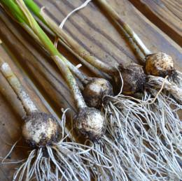 Rabbits hate garlic.
