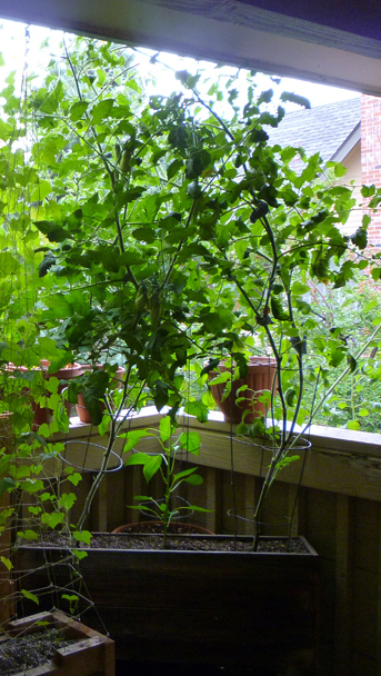 Nearing late summer, both tomato plants had easily outgrown their containers. Adding extra twine supports for growing branches, these plants reached in excess of six feet tall!