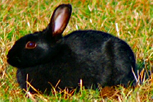 Driving home in the early hours, I was relieved when I managed to do an emergency stop and did not hit a small, black rabbit with my car.