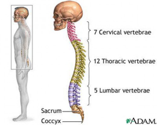 how to prevent neck pain during exercise - know the disc in the neck and spine - colorful diagram showing the cervical discs and lumbar and thoratic discs