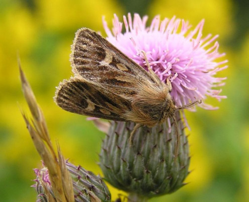 A lovely photo of this moth on a purple thistle flower.