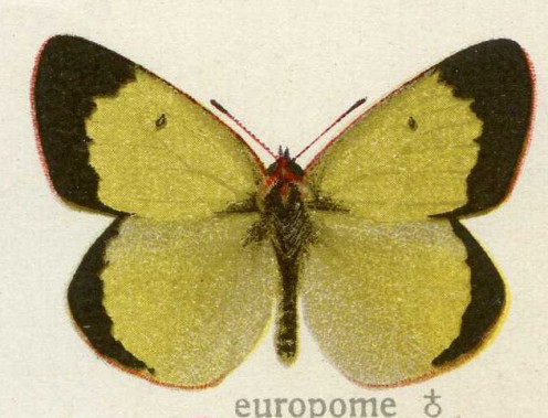 This needs to be double checked, but this is possibly a bit different than some of the other Colias Palaeno butterflies.