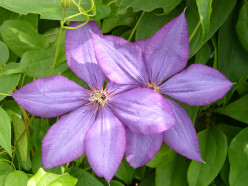 Clematis Flower Vines - Information and Photos