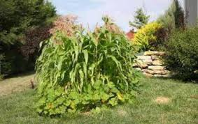 growing sweet corn in a three sisters garden is an excellent way to make the best use of garden space.