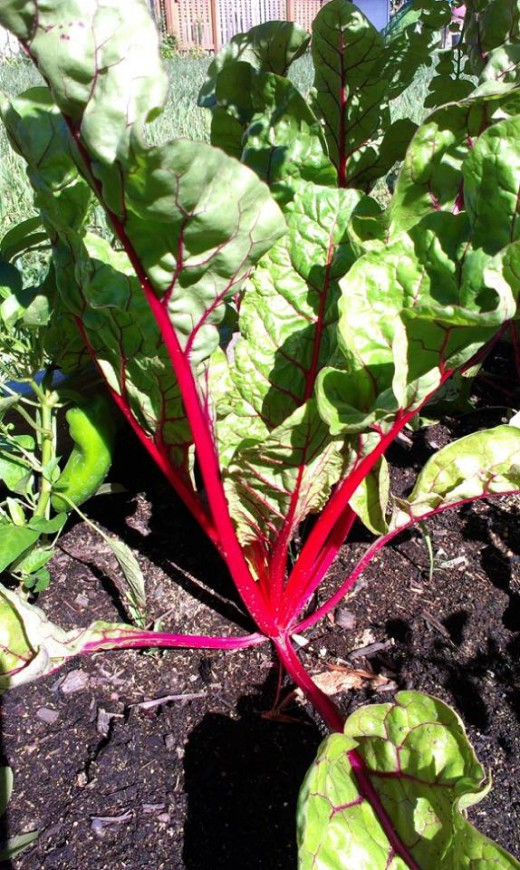 """Bright Lights"" Swiss Chard"