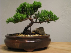 Reasons You Should Buy A Bonzai Tree