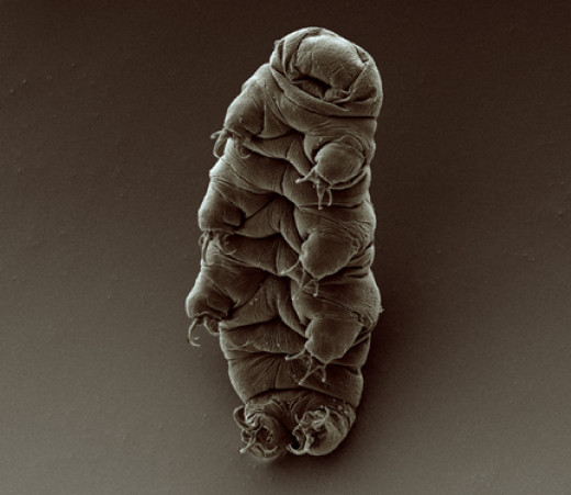 Scanning electron micrograph of an adult tardigrade (water bear).