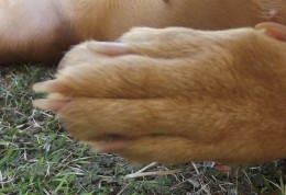 If you are concerned about swelling, examine the toes. If they are parallel the dogs feet are normal.