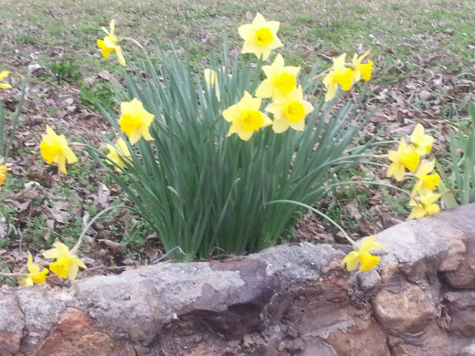 Daffodils in bloom.