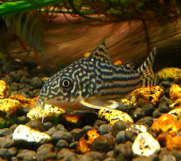 Corydoras are among the most popular bottom-dwelling fish with dozens of readily-available varieties on the market