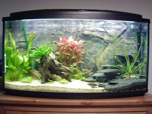 Small community fish make dazzling aquarium displays with hardy fish that are great for first-time aquarium owners.