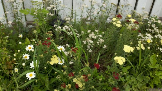 Yarrow inter-planted with Daisy in cottage garden