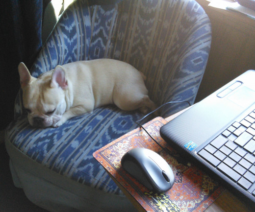 Teddy (French Bulldog) always helps me - even when I'm on the computer in the motorhome.