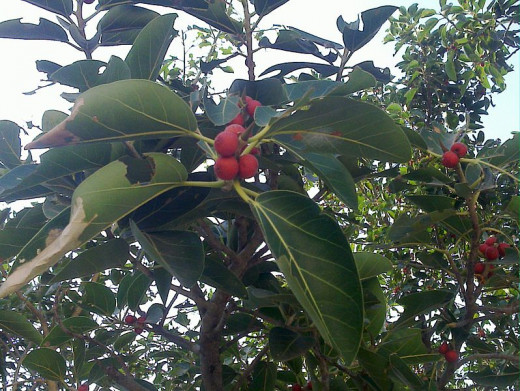 File: 1.fig tree with fruit.jpg Author Parvathisri 3 Jan 2009 CC-BY-SA-3.0