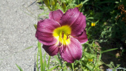 How to Grow Daylilies (Hemerocallis)