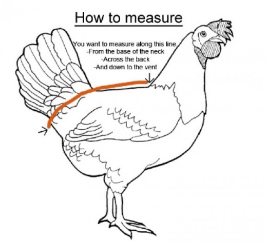 How to Measure a Chicken for Chicken Diaper