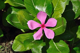 The Madagascar periwinkle, or Catharanthus roseus, contains chemicals that are used in chemotherapy to treat cancer.
