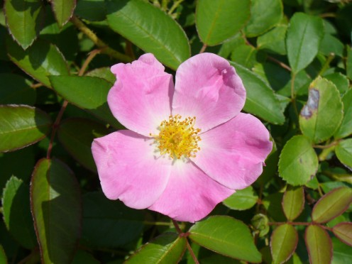 A pink, wild rose.