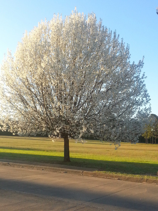 While taking a drive around my town, I saw this beautiful Bradford Pear tree beginning to bloom.