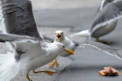 Seagulls were trying to eat a pie that had been thrown out of a car window into the middle of the road.