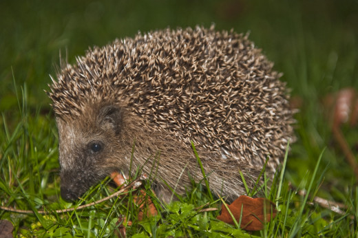 I decided to take the seagull to the People's Dispensary for Sick Animals, who had once been very helpful when I found an injured hedgehog (pictured) and had treated him free of charge.
