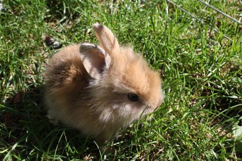 Dwarf Bunny rabbit.