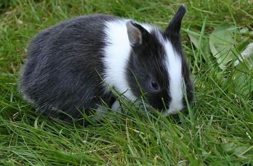 A baby Netherland Rabbit